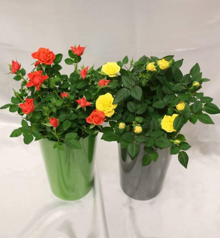 Як успішно посадити карликові троянди?