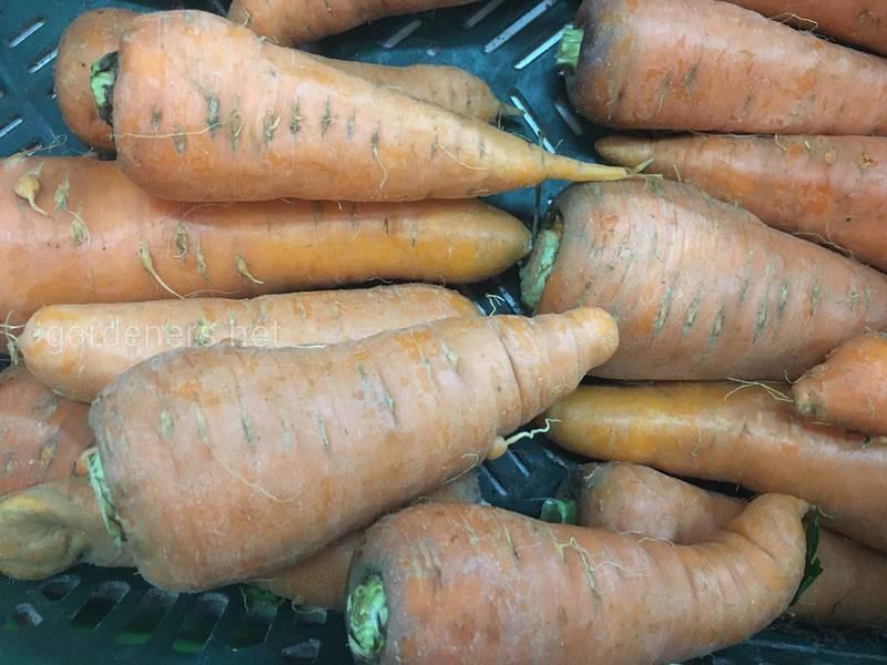Причины, по которым морковь становится горькой