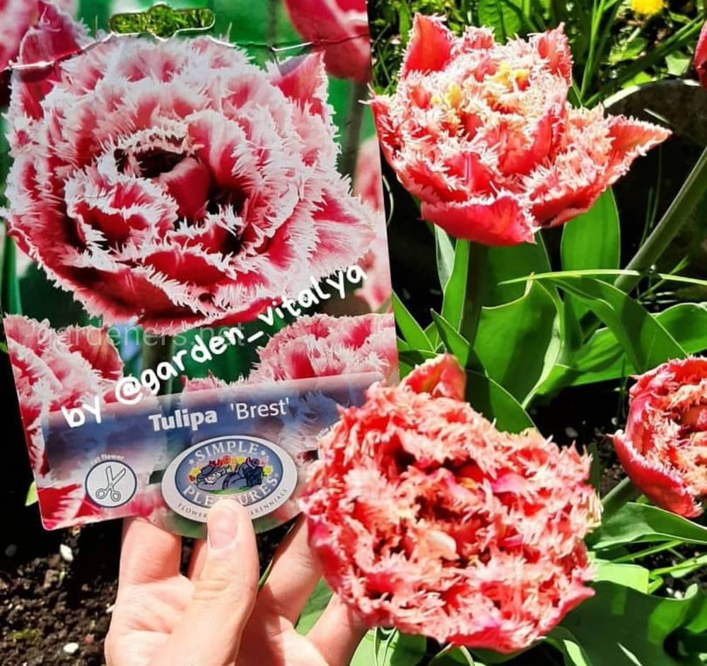 Выращивания тюльпанов