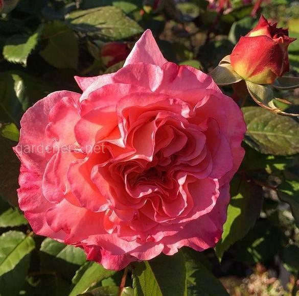 Rosa Augusta Luise