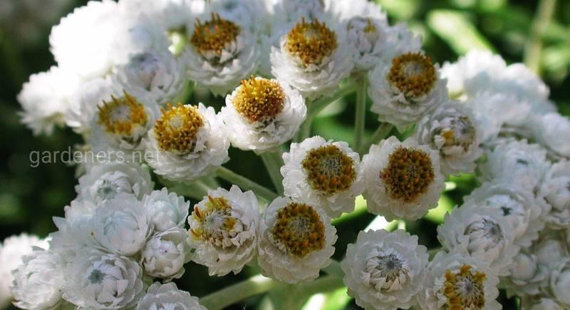 Выращивание неприхотливого и целебного анафалиса в саду