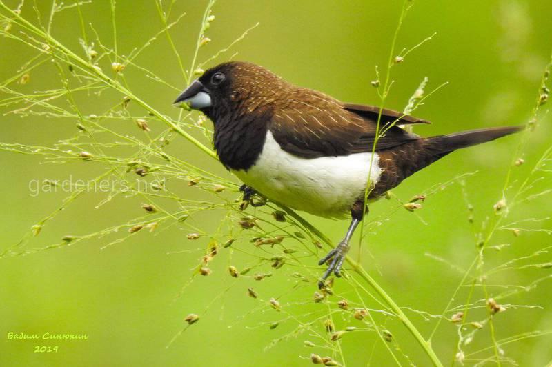 Птица Острохвостая бронзовая амадина
