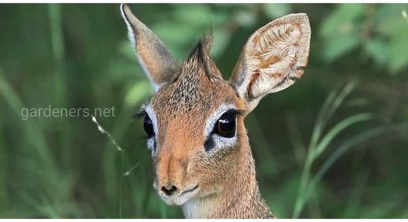 Крошечная антилопа по имени Дикдик дорого платит за доверие людям