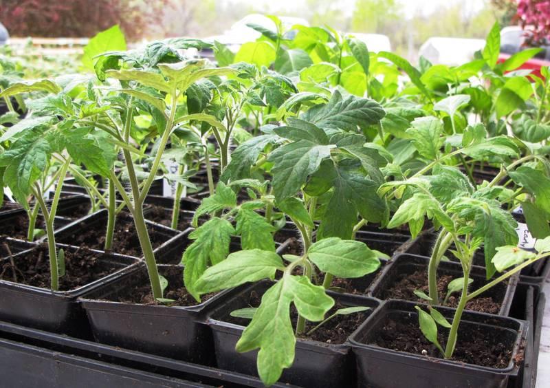 Як та коли сіяти насіння томатів на розсаду?