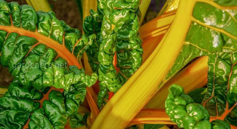 интересные овощи.jpg