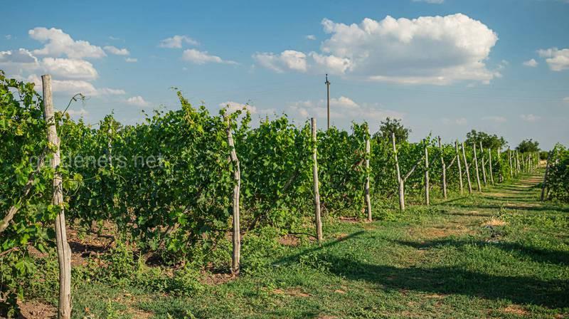 Органічне вирощування винограду: які застосовуються добрива та засоби захисту від хвороб та шкідників?