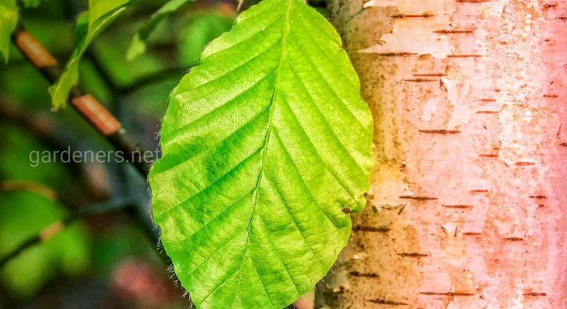 Какими лечебными свойствами обладают березовые листья