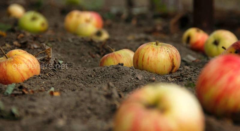 Як отримати користь з опалих фруктів