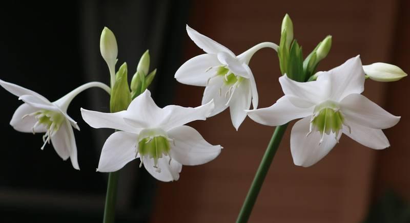 Эухарис — грациозный цветок романтиков. Что делать если эухарис не цветет?