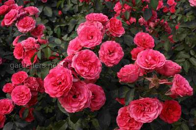 Плестистая роза