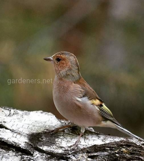 Это певчая птица