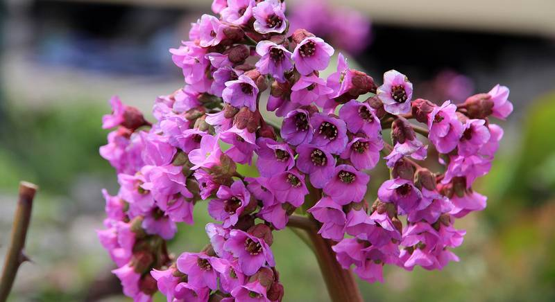 Бадан или бергеня: посадка и выращивание садового цветка