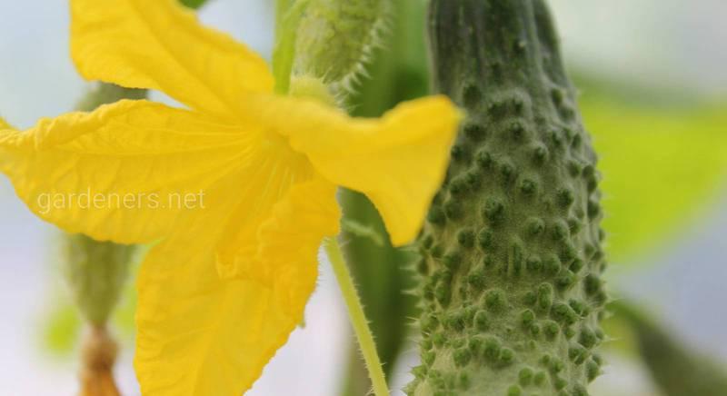 Натуральные удобрения для огурца.jpg