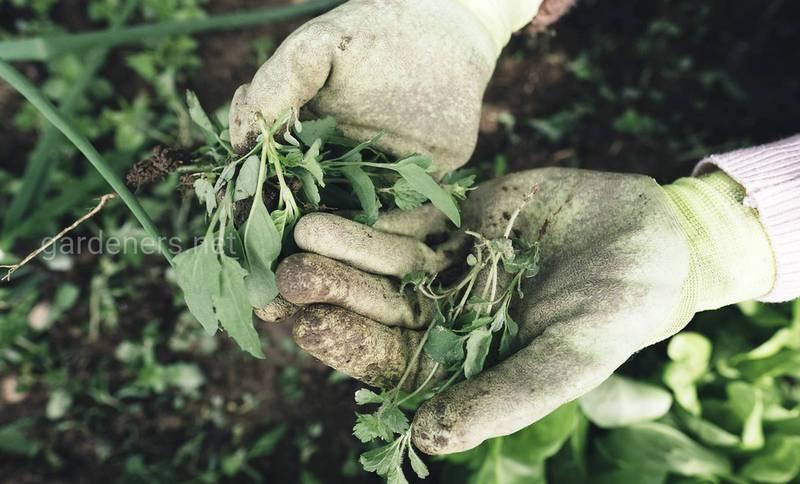 Як боротися з бур'янами в органічному виробництві?