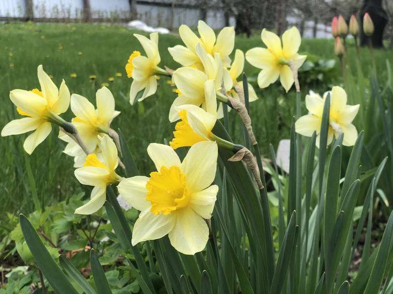 Нарциссы: семь фактов, связанных с цветком
