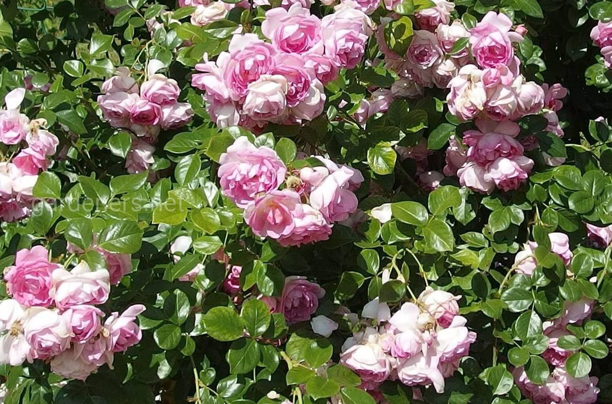 Плетистая роза «Jasmina»