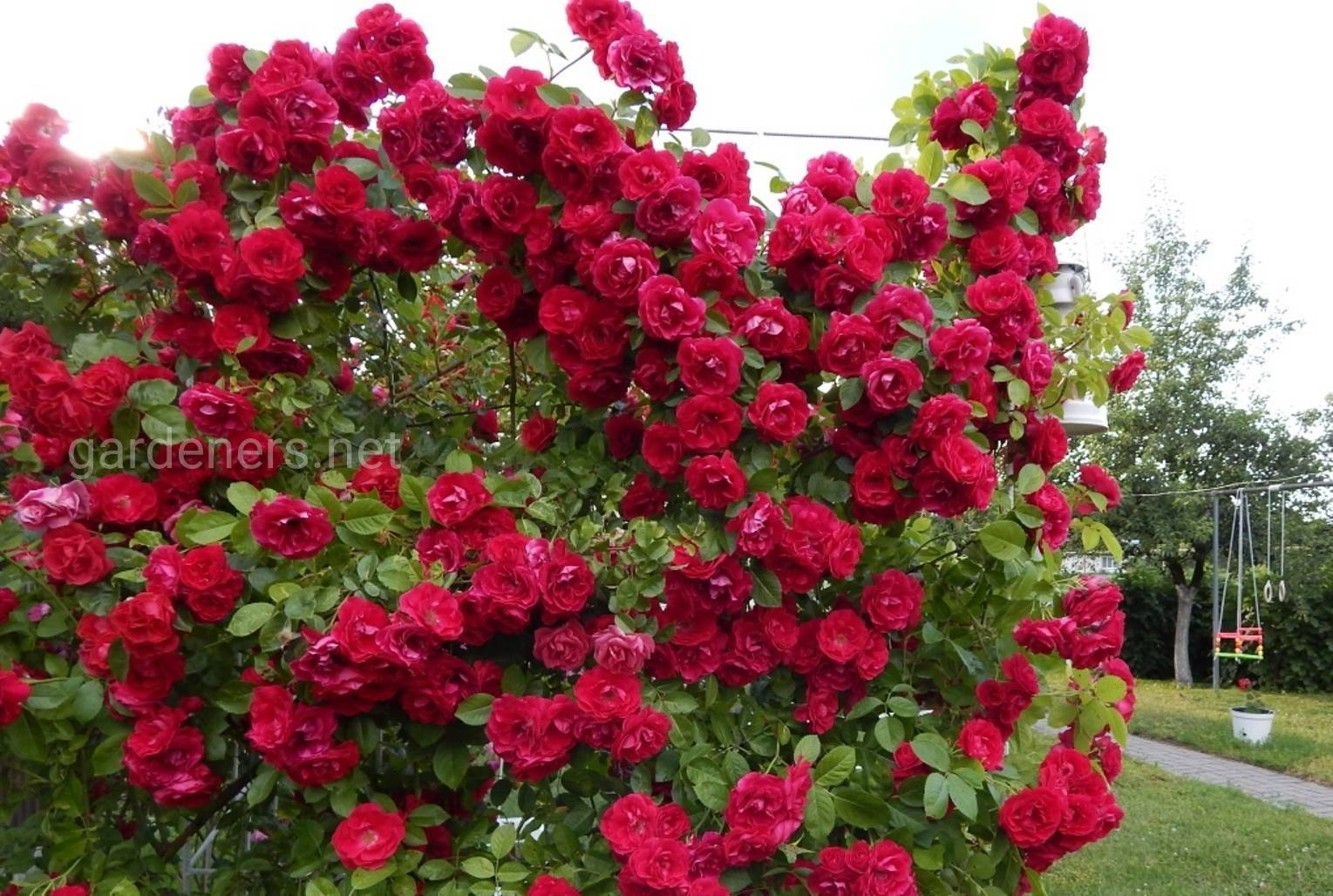 Сорт роз Кордес «Flamentanz».jpg