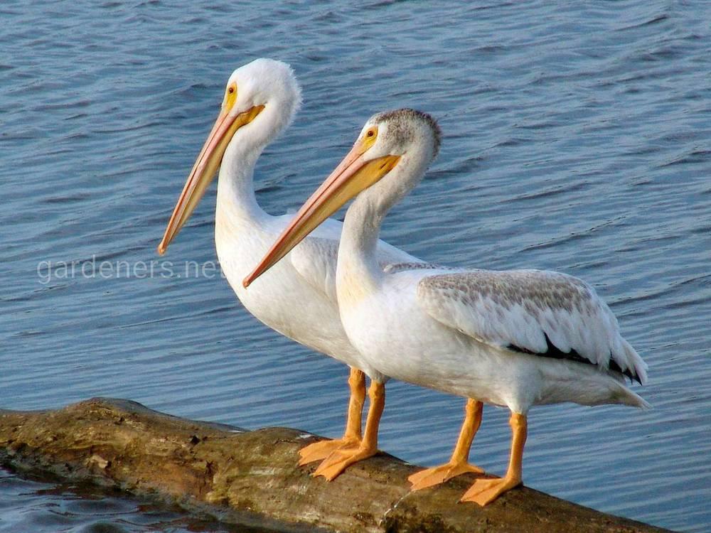 Види пеліканів
