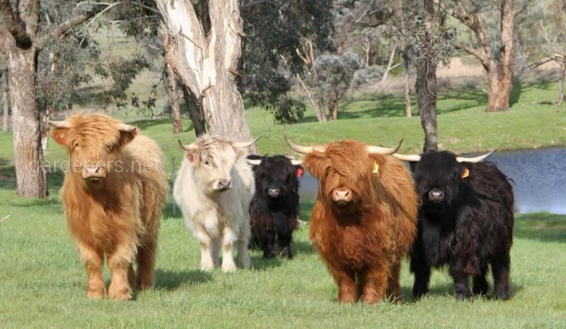 Ангуські міні-корови