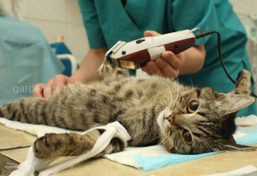 Сколько времени кошка отходит от наркоза после стерилизации