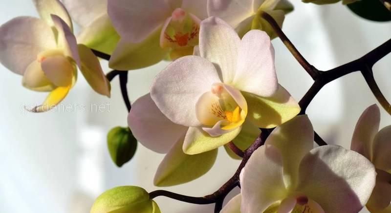 Экзотическая орхидея в природе и доме