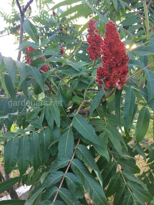 Сумах - бархатистое растение, которое можно выращивать в  просторных дворах!