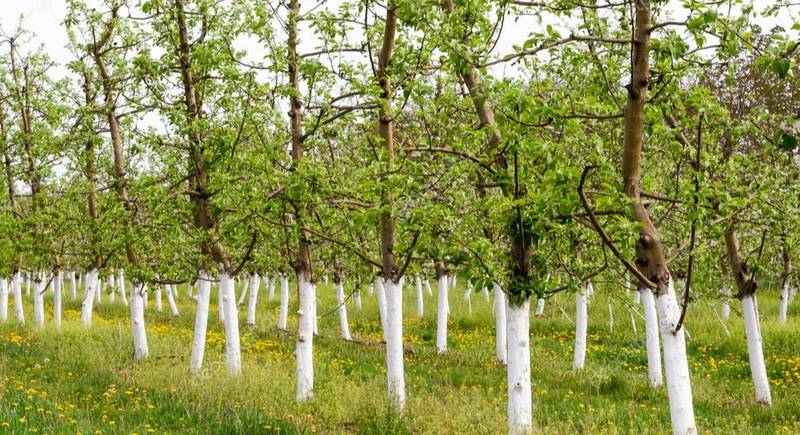 ТОП-7 смесей для побелки деревьев