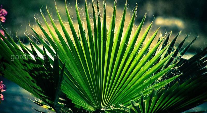 Вашингтонія: догляд і вирощування пальми з насіння. Як правильно доглядати за екзотичним деревом