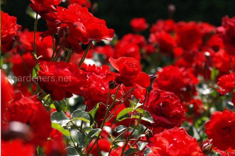 Как успешно выращивать роскошные карликовые розы?