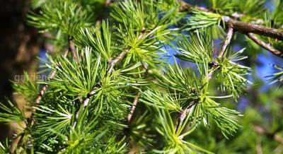 лиственница дерево.jpg