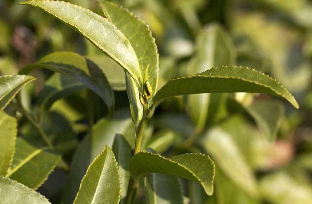 чай Камелия