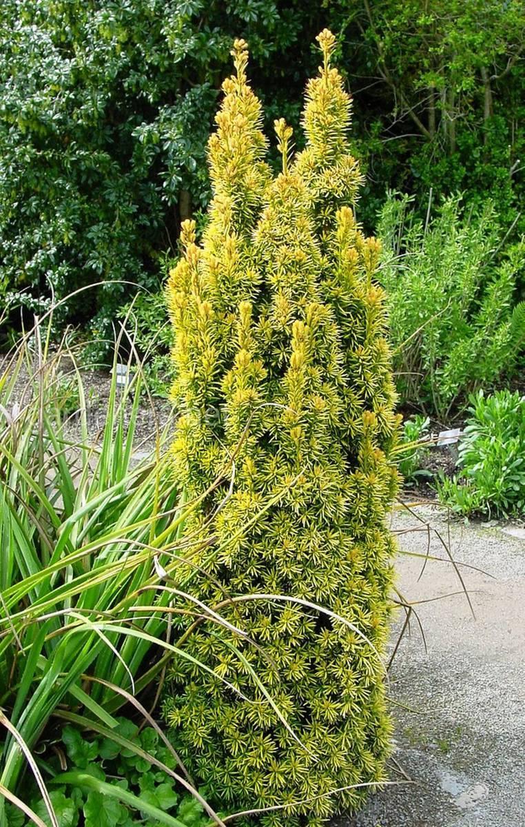 Taxus baccata Standishii Conifer