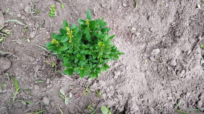 Як правильно посадити самшит?