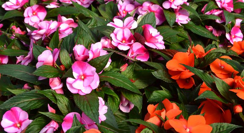 Бальзамин - выращивание рассады тенелюбивого цветка