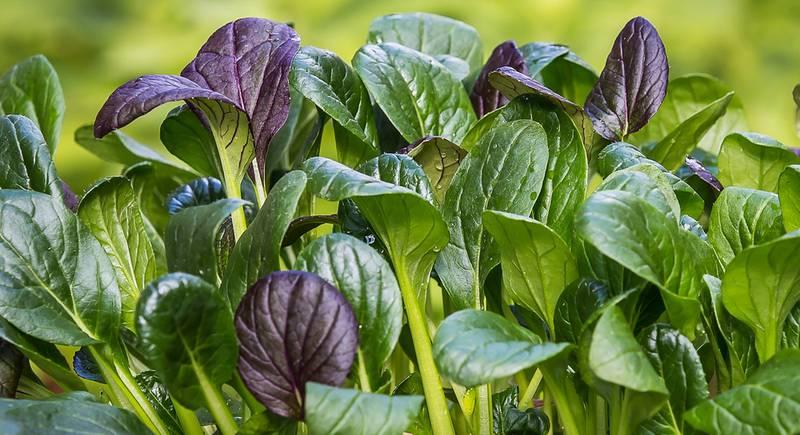 Вредители и болезни шпината