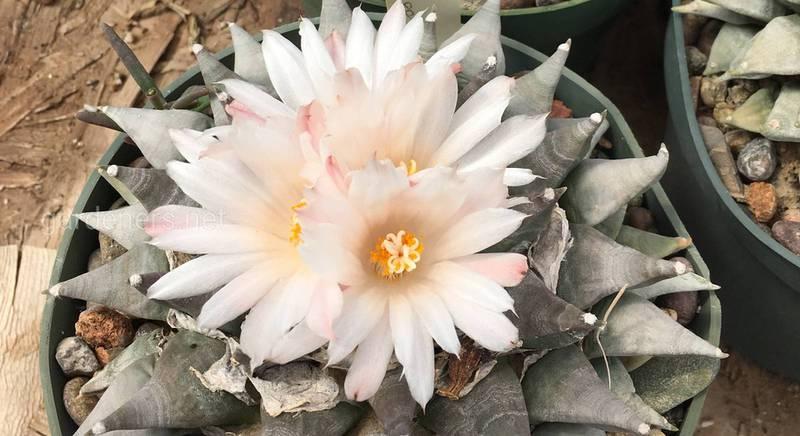 Ариокарпус: подробная инструкция по выращиванию и уходу за редким, исчезающим кактусом в домашних условиях