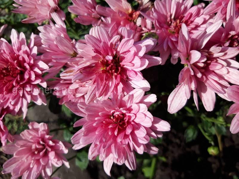 Топ-7 интересных фактов о хризантемах