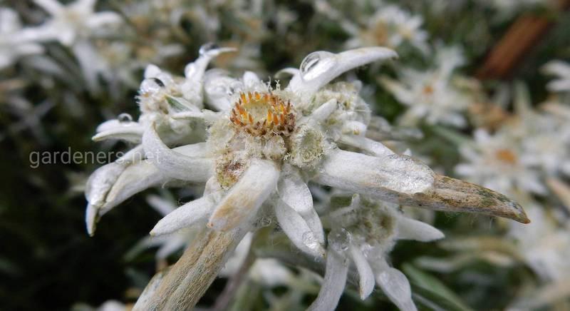 Эдельвейс – горный цветок у вас в саду. Посадка и уход