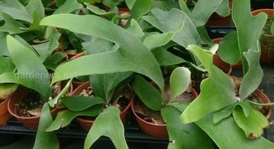 Секреты успешного выращивания папоротника Платицериум в домашних условиях