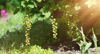 зеленая смородина в саду.jpg