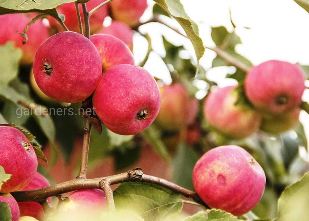 сорт яблони Солнцедар