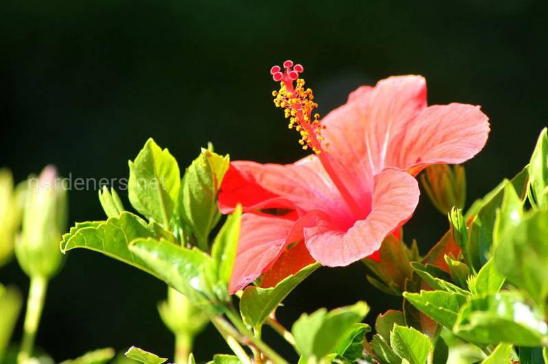 Як успішно вирощувати китайську троянду (гібіскус)?