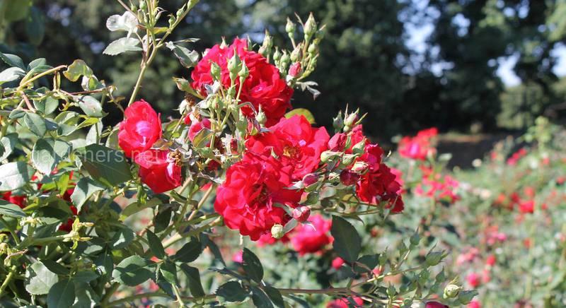 Флорибунда - группа сортов роз