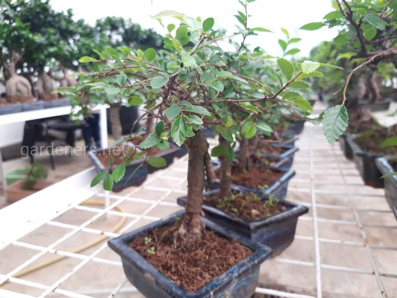 Как сделать собственное дерево бонсай?