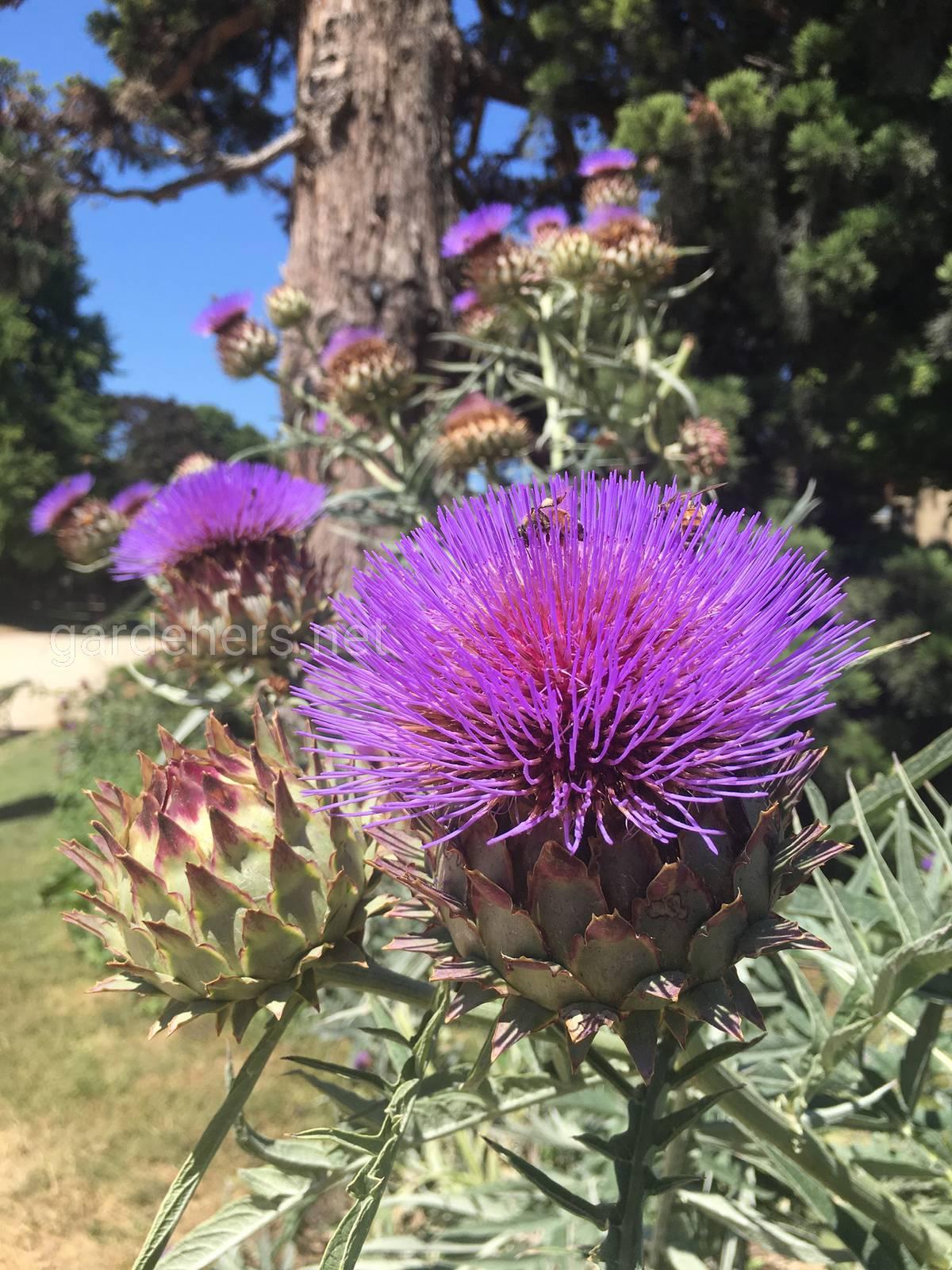 Артишок — украшение цветника