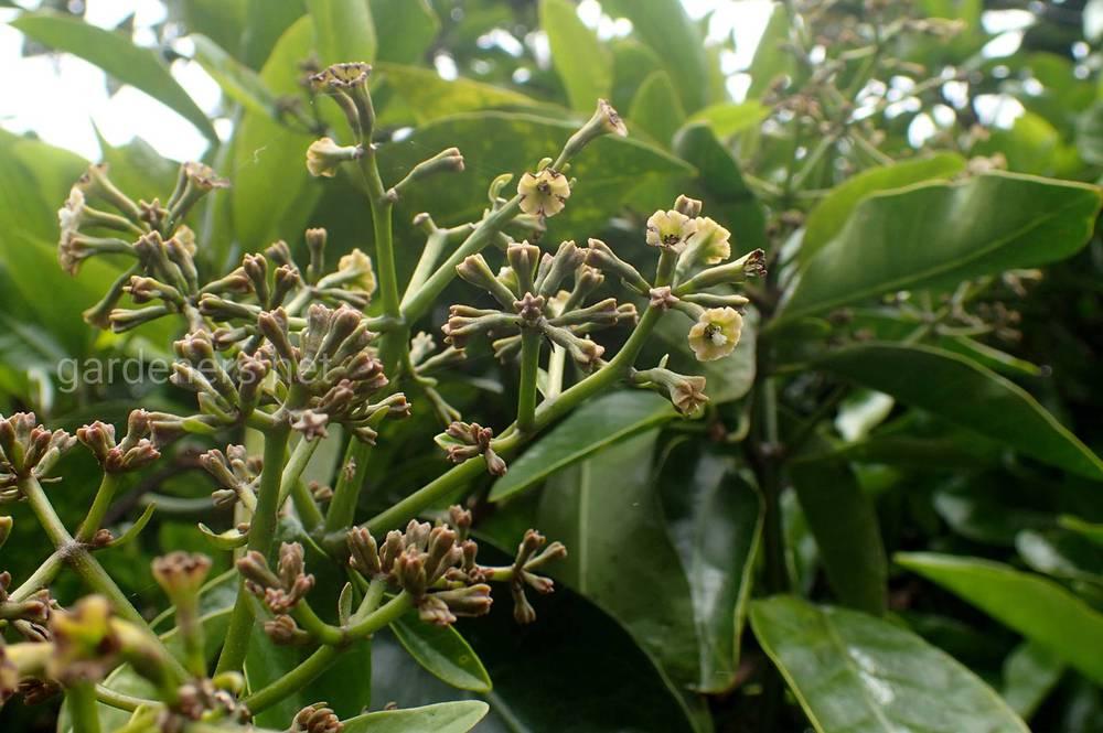 Pisonia brunoniana