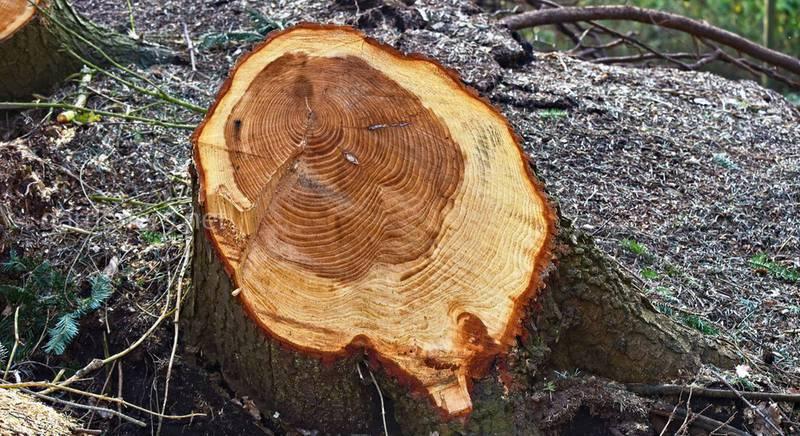 Можно ли пилить деревья на своем участке: рекомендации и штрафы за спил деревьев в России