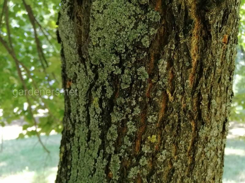 Лікувальні властивості деревної кори
