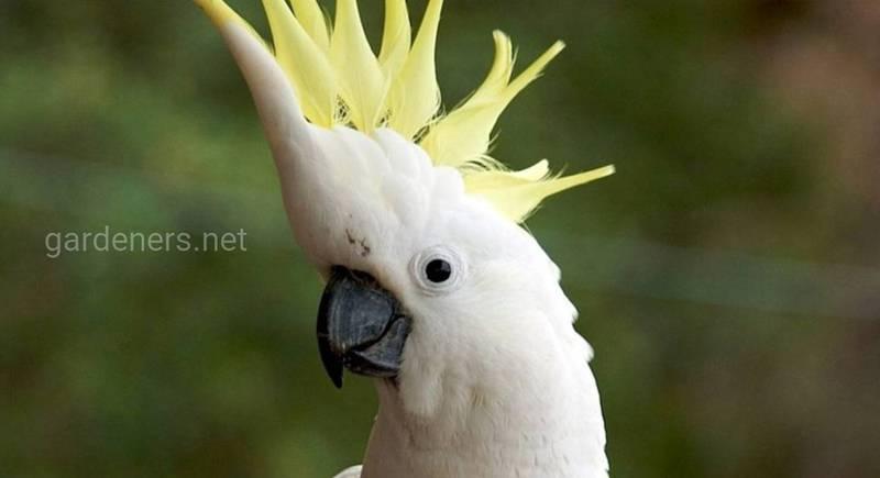 Що являє собою папуга какаду