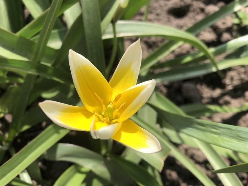 Солнечный тюльпан поздний